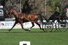Leslie Berndl is leading the FEI Single Horse class
