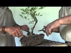 Bonsai Tutorials for Beginners: How to Restore an Overgrown Shohin Bougie - YouTube