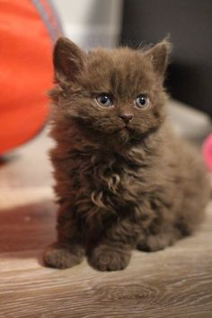 20 Poodle Cats That Are Too Cute For This World chat caniche brun aux yeux bleus debout sur le sol Cute Baby Animals, Animals And Pets, Funny Animals, Funny Cats, Pretty Cats, Beautiful Cats, Cute Kittens, Cats And Kittens, Cats Meowing