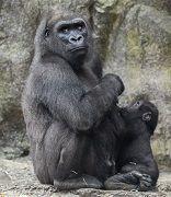 Gorilla Family - Franklin Park Zoo - Boston, MA