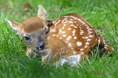 Newborn Fawn - This was taken last month, May 3rd... There were some harsh shadows, tried balancing them as best i could...