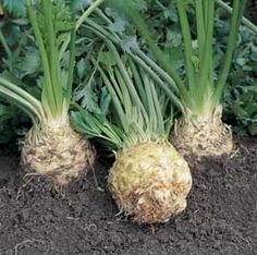 Growing Celeriac, growveg.com shows you how...mash these in with your mashed potatoes to lighten them up and give an unexpected great flavor