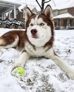 Wonderful All About The Siberian Husky Ideas. Prodigious All About The Siberian Husky Ideas. Malamute Husky, Husky Puppy, Beautiful Dogs, Animals Beautiful, Cute Animals, Cute Puppies, Cute Dogs, Nanny Dog, Cute Husky