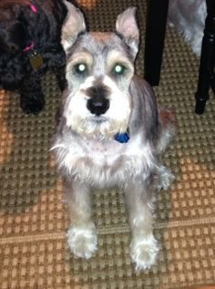 Meet Harley a Petfinder adoptable Schnauzer Dog | Schnauzer Rescue Cincinnati, Sharonville, OH | This is Harley. He is a 13 year old salt & pepper Schnauzer.He is not a mini, he weighs 35...