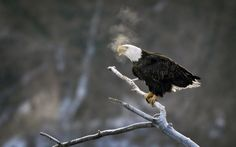 Winter, in The Atlantic:  A bald eagle sits on a branch over the Des Moines River, in downtown Des Moines, Iowa, on January 8, 2013. Iowa's cold, icy winters drive the birds to rivers to forage for food when inland waters freeze over. (AP Photo/Charlie Neibergall)