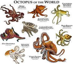 Octopus the World Poster Print - Art representation of various octopus (Octopoda) species identified: ATLANTIC OCTOPUS (Octopus vulg - Mimic Octopus, Red Octopus, Octopus Art, Types Of Octopus, Octopus Colors, Octopus Vulgaris, Coconut Octopus, Tier Zoo, Giant Pacific Octopus