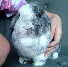 My Bo. #hollandlop #bunny http://omnirabbit.com