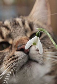 Cat sniffing at a snowdrop
