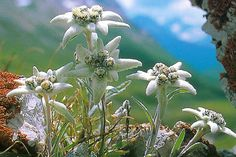 Edelweiss growing high up in the Swiss Alps