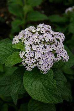 Heliotrope, cherry pie, turnsole    Botanical name: Heliotrope arborescens