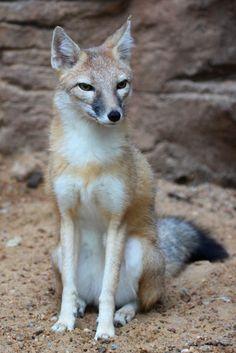 Swift Fox Sitting Pretty by Jack-13.deviantart.com on @deviantART