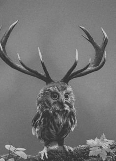 Owl with a huge rack.