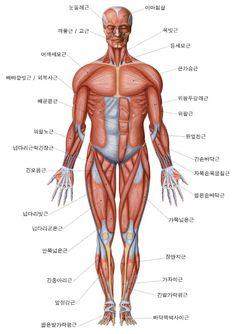 인체 근육 - Google 검색