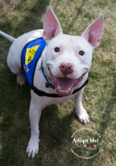 "Sweetness ! 4/12/15 still homeless! 2/18/15 SL ***** SULLY Bull Terrier & Pit Bull Terrier HAS BEEN LOOKING FOR A FUREVER HOME FOR SUCH A LONG TIME! Born without optic nerves leaving him 100% blind but gets around just fine like any ""seeing"" dog & is a cuddle bug! adapts very well to his surroundings. Fav things -cuddling, blankets. I.C.A.R.E. Dog Rescue Rancho Santa Margarita CA. For more info on adopting me or any of my rescue friends contact adopt@icaredogrescue.org…"