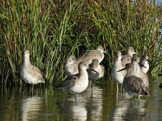 Willets #seaisland #nature www.seaisland.com