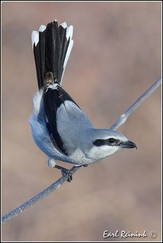 Northern Shrike | Flickr - Photo Sharing!