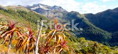 Mountain Neinei (Dracophyllum traversii), Kahurangi National Park Royalty Free Stock Photo