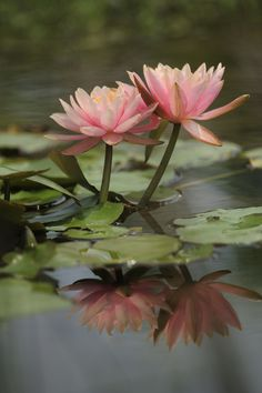 I love water lilies, even though I don't know where I can see them. It's weird because they seem to be growing on water because they're floating, but their root is truly on the ground. They must have a long stem, in that case ! The picture is from Hau Siu Fai.