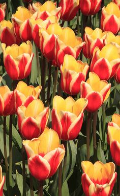A lot of red and yellow tulips by Tim Abeln Photography and Digital Art Prints. Beautiful wall decoration for your home and office. This image shows a lot of red and yellow tulips growing in Lisse, the Netherlands. A very colorful photograph that will look great on the wall in your kitchen and livingroom.