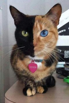 Genetically this cat is its own fraternal twin!  Amazing.