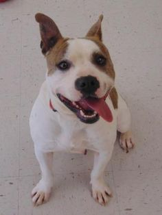 2 / 2     Petango.com – Meet Buffy, a 3 years 1 month Terrier, American Staffordshire / Mix available for adoption in GRAND ISLAND, NE Contact Information Address  1312 Sky Park Road, GRAND ISLAND, NE, 68801  Phone  (308) 385-5305  Website  http://www.centralnebraskahuma nesociety.com  Email  info@centralnebraskahumanesoci ety.com