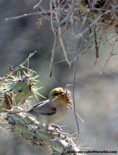 verdin nest building