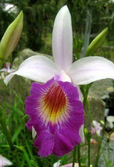 Orquidea, Kuching