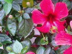 Rosa de China, planta de sol | Jardineria