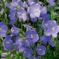 """Campânula – Família Campanulaceae - A campânula adiciona delicadeza e charme ao jardim. Suas flores azuladas combinam perfeitamente com jardins no estilo inglês """"Cottage"""", informais..."""