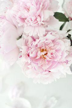 pink peonys. photo credit, www. trendenser.se