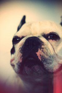 poupoudou - french bulldog - bouledogue francais - akin aka poupoudou