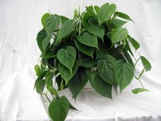 indoor plants that you just cant kill buddha decor plants and gardens - House Plants Vines
