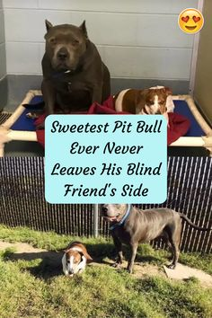 Sweetest Pit Bull Ever Never Leaves His Blind Friend's Side
