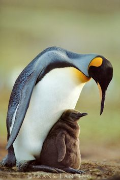 and baby pics the cutest pic I& seen for ages. makes my heart melt. the cutest pic I& seen for ages. makes my heart melt. King Penguin, Penguin Love, Cute Penguins, Beautiful Birds, Animals Beautiful, Frans Lanting, Baby Animals, Cute Animals, Ostriches