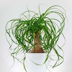 Ponytail palm (Beaucarnea recurvata) https://www.prevention.com/health/low-maintenance-houseplants/slide/6