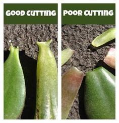 How to Grow More Succulents Without Spending a Dime - Gardening - Jade leaf cuttings, article, propagating succulents - Succulent Care, Succulent Gardening, Succulent Terrarium, Container Gardening, Gardening Tips, Terrariums, Organic Gardening, Jade Succulent, Succulent Cuttings