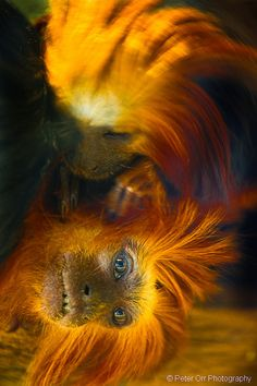 Golden Lion Tamarins by peter orr photography on Flickr.