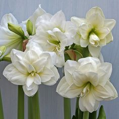 Amaryllis, Special Flowers, Beautiful Roses, Christmas Home, White Flowers, Floral Wreath, Bulb, Wreaths, Entertaining