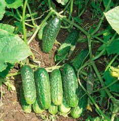 Homestead Gardens, Growing Tomatoes, Small Farm, Wedding Boxes, Horticulture, Vegetable Garden, Cucumber, Backyard, Soda