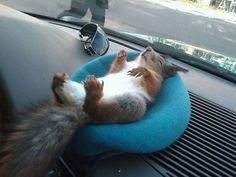 A Soldier's Squirrel Story.  This squirrel is napping in the soldier's cab who saved his life.  Aw, I think they saved each other.