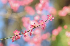 Japanese Apricot   Flickr - Photo Sharing!