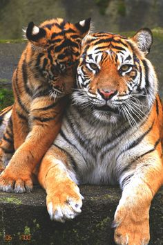 JoJo, a 20-year-old, female Sumatran tiger at Woodland Park Zoo, Seattle, Washington.