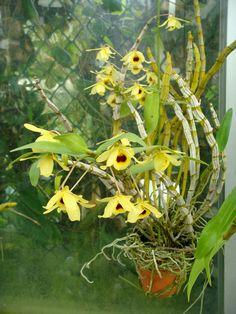 Dendrobium friedericksianum Reichenbach f.  http://orchids.la.coocan.jp/Dendrobium/Dendrobium%20friedericksianum/Dendrobium%20friedericksianum.htm