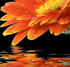 #orange #gerbera  Love this orange flower!