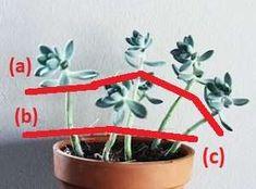 Mi suculenta está demasiado alta: cómo podar una suculenta con tallo estirado? - Cosas del Jardin Cactus Y Suculentas, Planting Succulents, Indoor Garden, Bonsai, Planter Pots, Flowers, Plants, Gifts, Ely