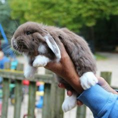Our first French lop of 6 wks old that soon will be added to our family