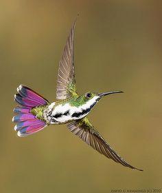 The Green-throated Mango (Anthracothorax viridigula) is a hummingbird that breeds from northeastern Venezuela, Trinidad and the Guianas south to northeasterm Brazil. Pretty Birds, Love Birds, Beautiful Birds, Animals Beautiful, Small Birds, Little Birds, Colorful Birds, Hummingbird Tattoo, Hummingbird Pics