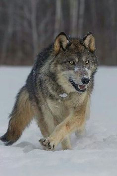 This beautiful wolf is definitely focused on something ... and that something ... best be carefu ... ... .....