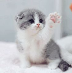 These lovely kittens will brighten your day. Cats are amazing creatures. - These lovely kittens will brighten your day. Cats are amazing creatures. Cute Kittens, Kittens And Puppies, Cats And Kittens, Ragdoll Kittens, Bengal Cats, Beautiful Cats, Animals Beautiful, Cute Baby Animals, Funny Animals