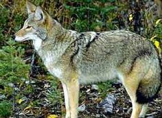 Butch was attacked by a coyote and eventually died from injuries sustained during the attack. Mum never really wanted another dog after Butch. Predator Hunting, Coyote Hunting, Hunting Tips, Deer Hunting, Maine, Wolf Pictures, Guide Dog, Cowboy Art, Wild Dogs